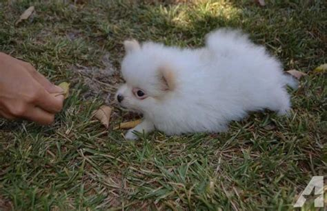 pomeranian puppies for sale wisconsin our gorgeous pomeranian puppies for sale in green bay wisconsin classified