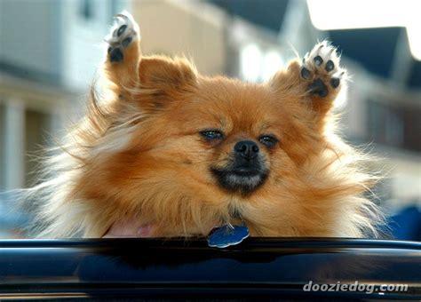 adopt a pet pomeranian pomeranian for rescue breeds picture auto design tech