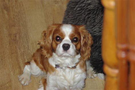 pomeranian español venta de perros colima venta de cachorros colima compra venta de perros en colima
