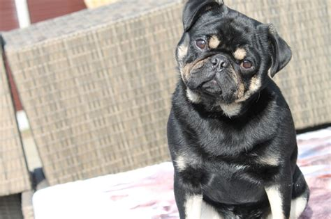 show pugs show quality black and pug for stud manchester greater manchester pets4homes