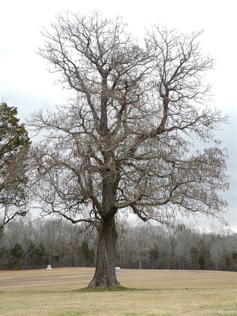description of a tree file catalpa tree shiloh nmp jpg