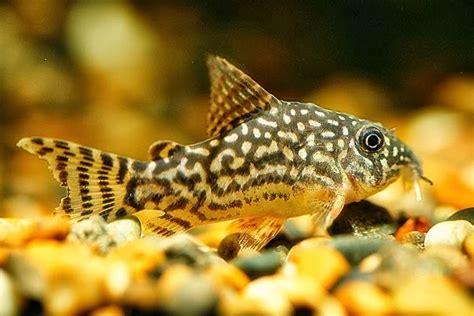 peluang usaha budidaya ikan indonesia peluang usaha budidaya ikan corydoras dan analisa usahanya