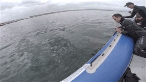 tige boats party wave just a great white shark eating an inflatable boat