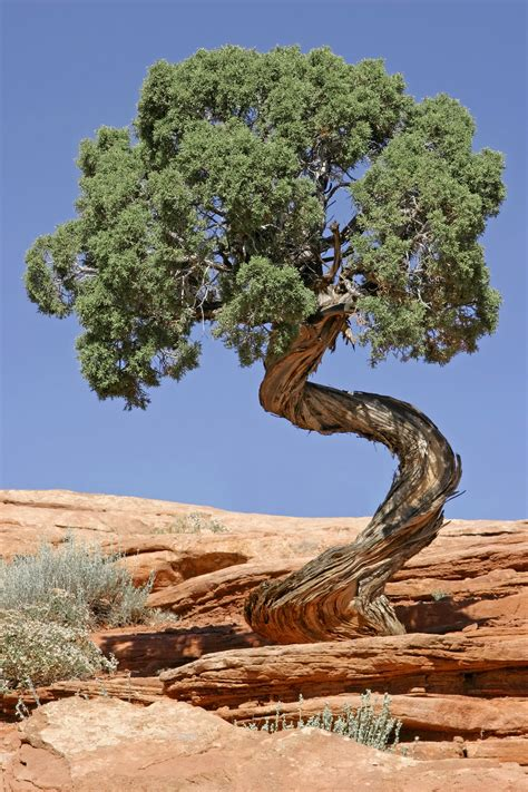 juniper tree images file tree canyonlands national park jpg wikimedia commons