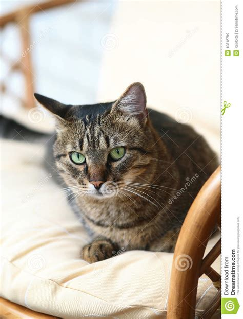 cat armchair cat in an armchair royalty free stock images image