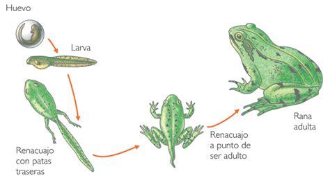 imagenes groseras de la rana imagenes de la metamorfosis de la rana imagui
