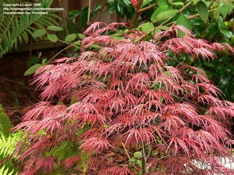 plantfiles pictures cutleaf japanese maple threadleaf japanese maple crimson queen acer