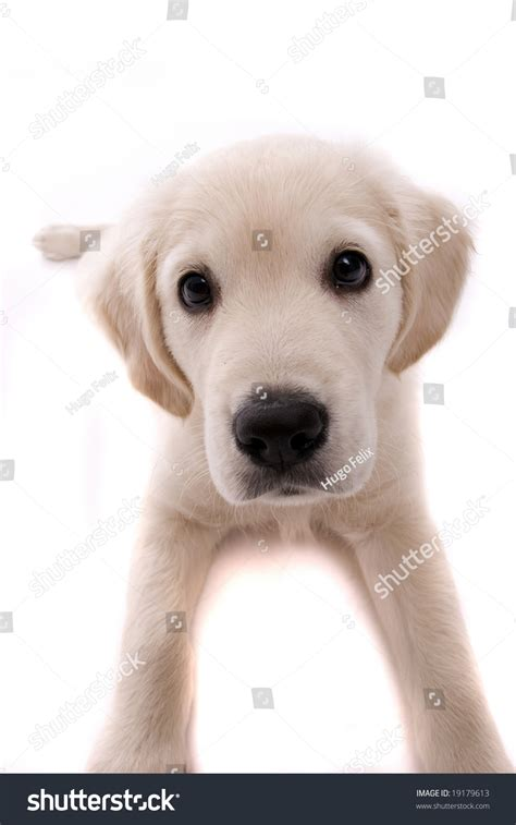 show me pictures of baby golden retrievers baby golden retriever isolated white stock photo 19179613