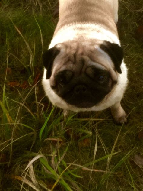 pedigree pugs for sale uk fantastic pedigree pugs for sale saffron walden essex pets4homes
