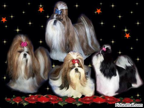 shih tzu puppies for sale in orlando shih tzu puppies teacup shih tzu shih tzu for sale breeder teacup miniature