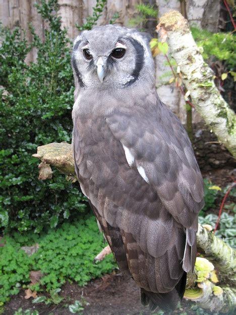 verreauxs eagle owl owl facts  information