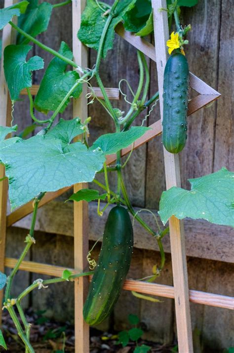 vertical cucumber garden 28 images edible gardens