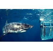 Great White Sharks Now More Endangered Than Tigers With Just 3500