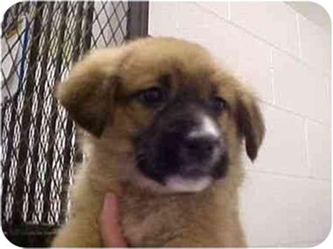 spokane puppies for adoption pitbull puppies for sale spokane