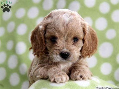 cavapoo puppies for sale in pa 25 b 228 sta cavapoo puppies for sale id 233 erna p 229 cockerpoo