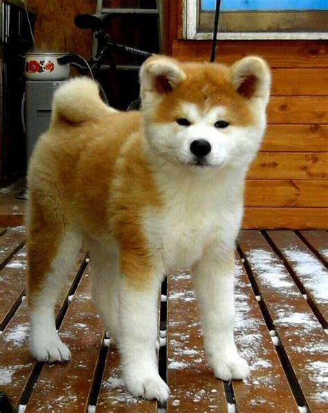 japanese puppy 25 best ideas about japanese akita on akita akita and akita puppies