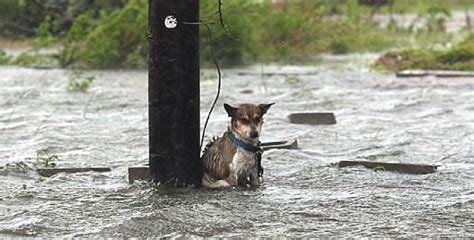 hurricane harvey dogs the photo of this abandoned in the rising waters of hurricane harvey breaks the