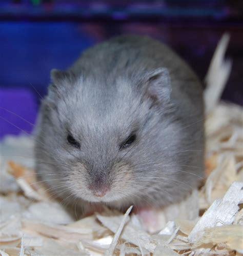hamster  adoption dwarf hamsters  hamster