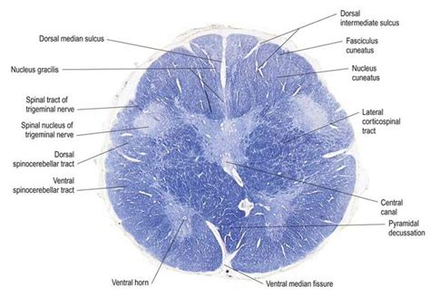 Transverse Section Of Medulla Oblongata by Brain Stem Neupsy Key