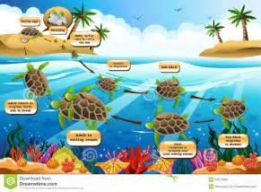 imagenes de ciclo de vida de la tortuga ciclo de vida de la tortuga de mar ilustraci 243 n del vector