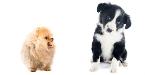 Border Collie Also Search For A Complete Guide To The Border Collie Pomeranian Mix