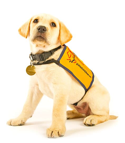 guide puppy raising support guidedogs sa nt