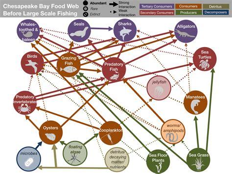 chesapeake bay food web diagram chesapeake bay food web worksheet food