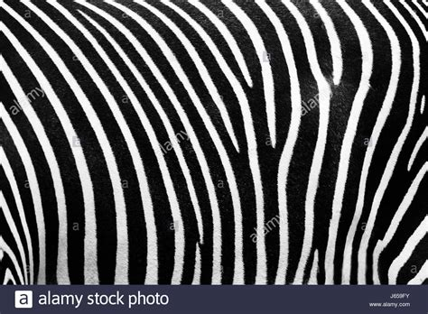zebra pattern filming frame abstract zebra skin texture stock photos frame