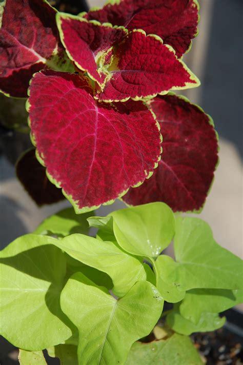 annuals audrey s plantmania