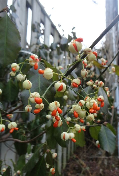 Flowering Evergreen Shrubs Full Sun - euonymus fortunei bambooplants ca