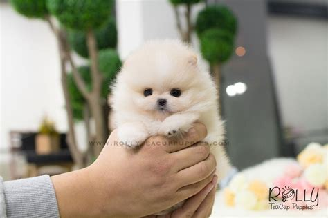 rolly teacup puppies for sale pomeranian rolly teacup puppies