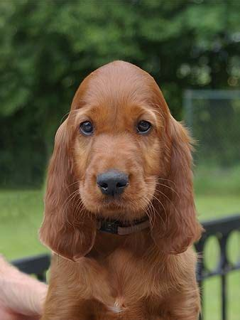 irish setter dog puppy sweet irish setter puppy this one has a very pretty head