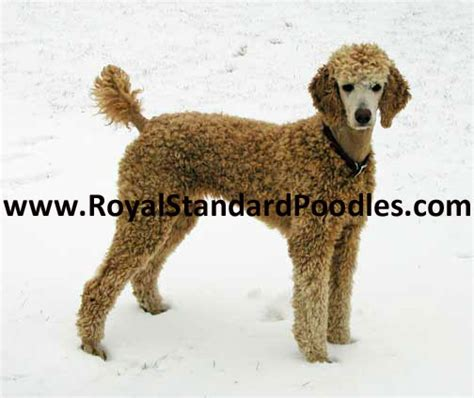 puppies for sale in minot nd standard poodle puppies for sale
