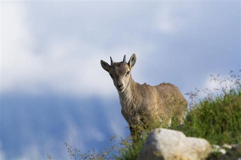 Alpine Duvet Cover Alpine Ibex Baby Photograph By Mircea Costina Photography