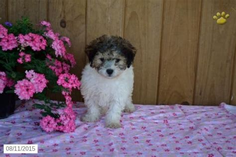 shichon puppies for sale in ohio 11 best images about puppies on shichon puppies for sale ohio and puppys