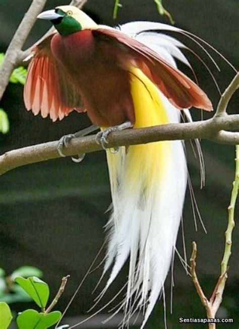 benarkah burung cenderawasih berasal dari syurga sentiasapanas