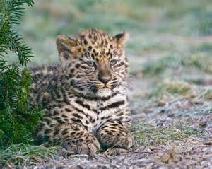 Are Leopards And Jaguars The Same Spot The Differences Between Leopards Jaguars And