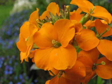 Gold Garden by File Erysimum Cheiri Gold Garden Flowers Jpg Wikimedia