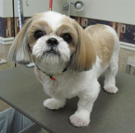 fun shih tzu haircuts poodle forum standard toy shih tzu short haircuts short hair fashions