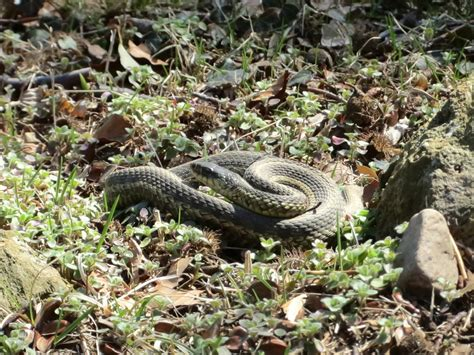 Garden Snake In Fastpublish 3 Garter Snake
