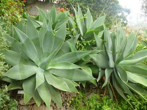 growing agave bomets