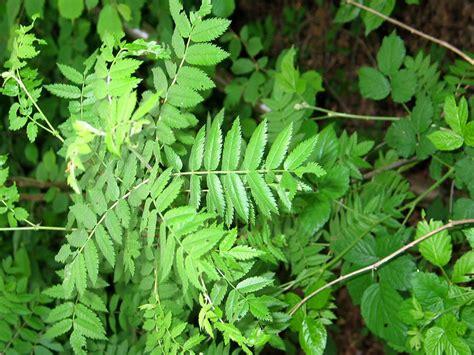 bloemen herkennen aan blad logische bladeren sleutel bomen herkennen