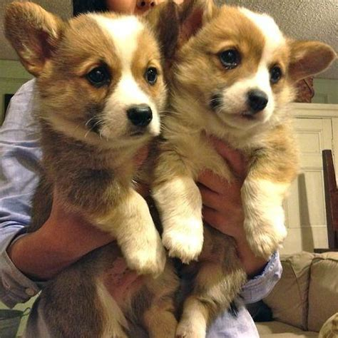 the cutest cutest corgis thecutestcorgis