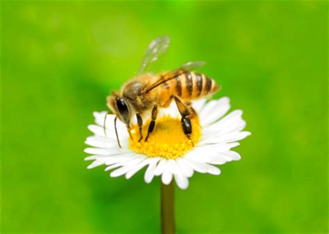 dementia incriminated as possible cause in bee population