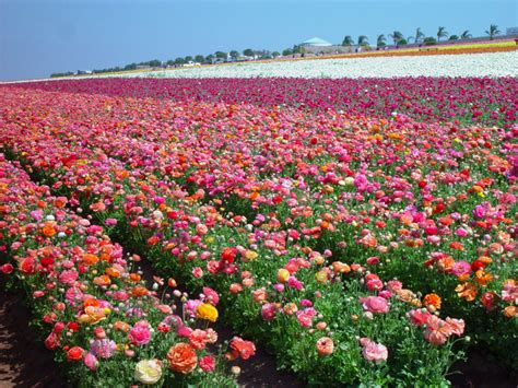 Flower Garden Carlsbad Flower Garden Carlsbad The Flower Fields At Carlsbad Ranch Visit Carlsbad Gardensdecor