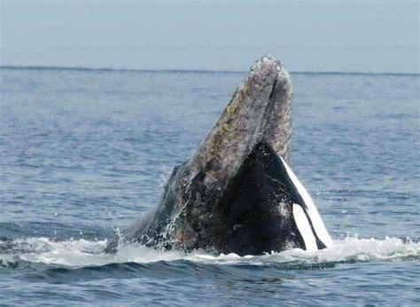 Dinner Opensquare Layout Como Dibujar Una Ballena Asesina Orca Dibujos De Animales