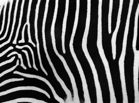 what color is a zebra s skin wallpaper texture free wallpaper dawallpaperz