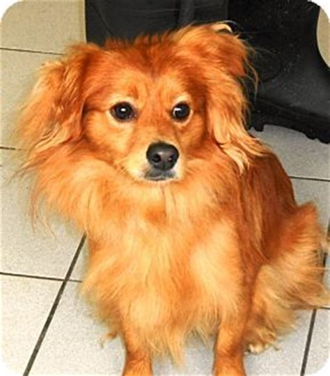 pomeranian x silky terrier 34 dachshund cross breeds you to see to believe