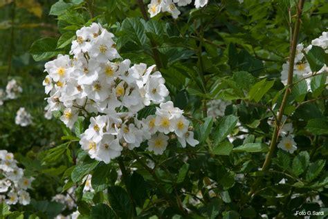 albero con fiori bianchi albero con fiori bianchi a grappolo decora la tua vita