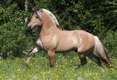 fjord horse for sale uk norway heritage community fjord horse not genealogy